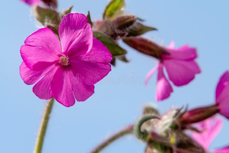 Rosa röd glim för lösa blommor, röd catchfly, Silene dioica mot den blåa himlen, closeup royaltyfri bild