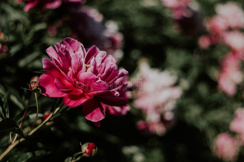 Rosa röd pion med en gul mellersta närbild på en bakgrund av grönt gräs Härlig pionblomma med stora kronblad royaltyfria bilder