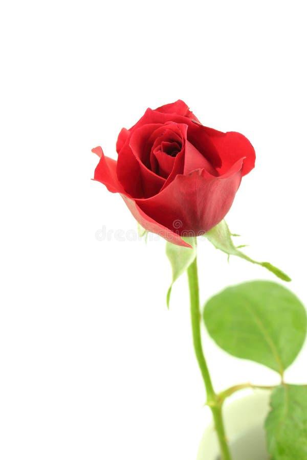 Rosa röd singel och blad på vit arkivfoto