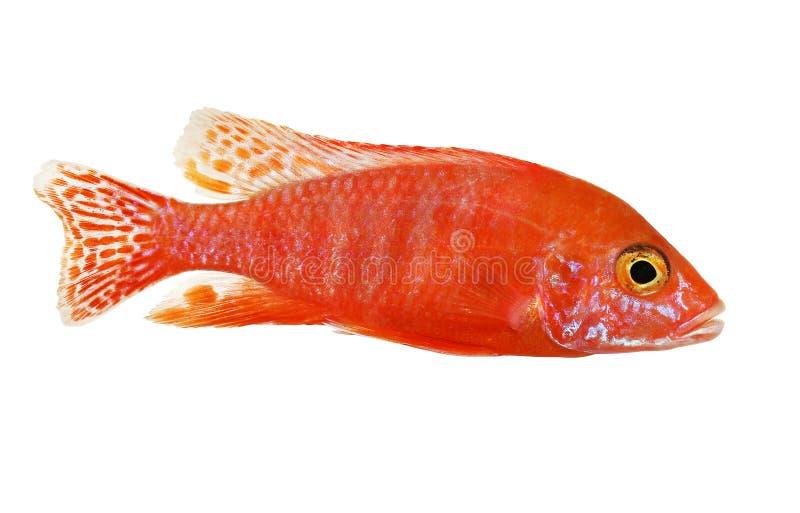 Rosa röd sjö Malawi för påfågelcichlidAulonocara akvariefisk fotografering för bildbyråer