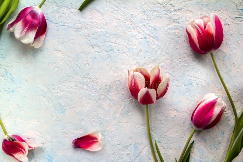 Rosa röda tulpan över den blåa vita tabellen arkivbilder