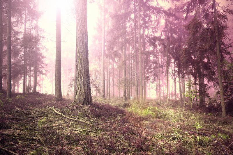 Rosa rött dimmigt skoglandskap royaltyfri bild