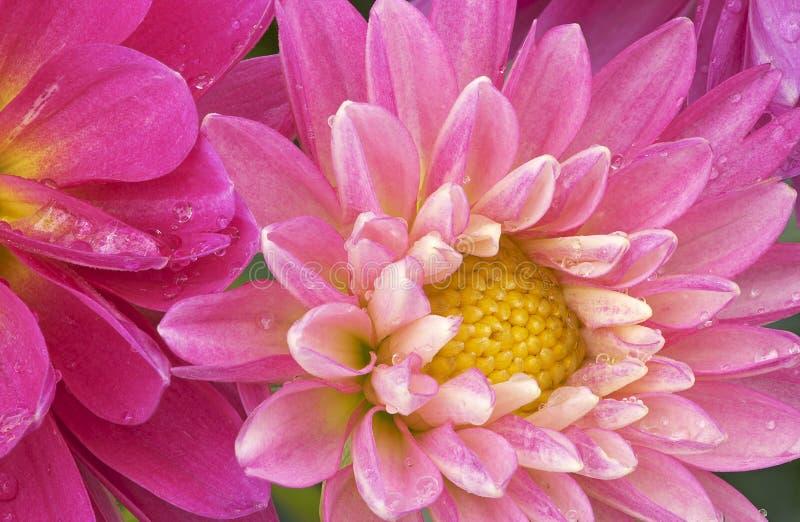 rosa raindrops för dahlias royaltyfri bild