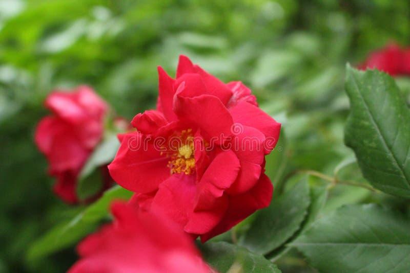 Rosa - rainha das flores no jardim dianteiro fotos de stock royalty free