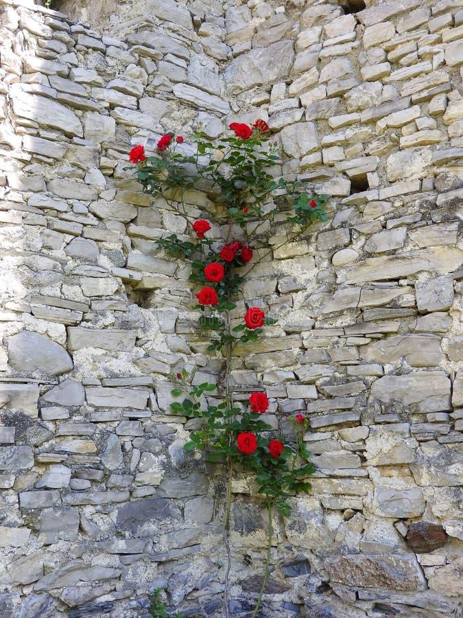 Rosa rampicante su una parete di pietra immagini stock libere da diritti