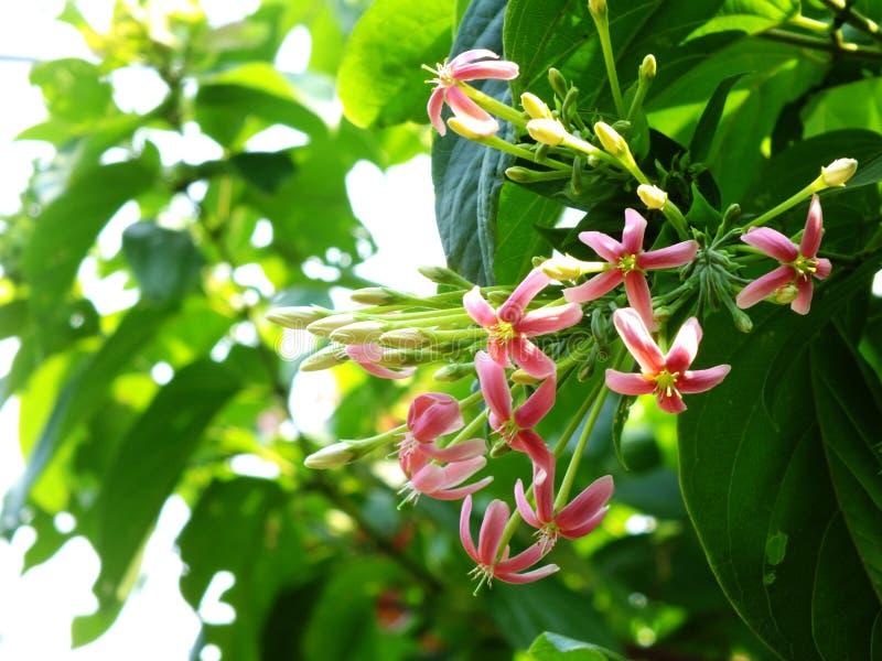Rosa Rangun-Kriechpflanzenblumenblühen lizenzfreie stockfotografie