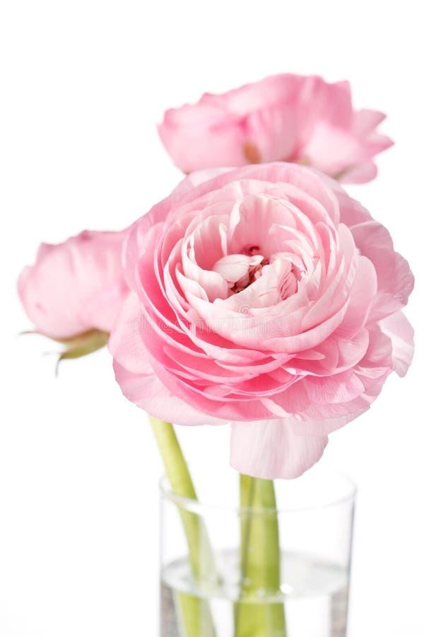 rosa ranunculus arkivfoton