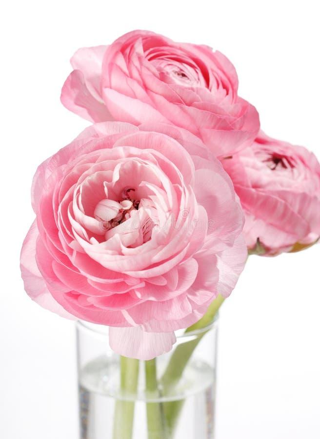 rosa ranunculus royaltyfri fotografi