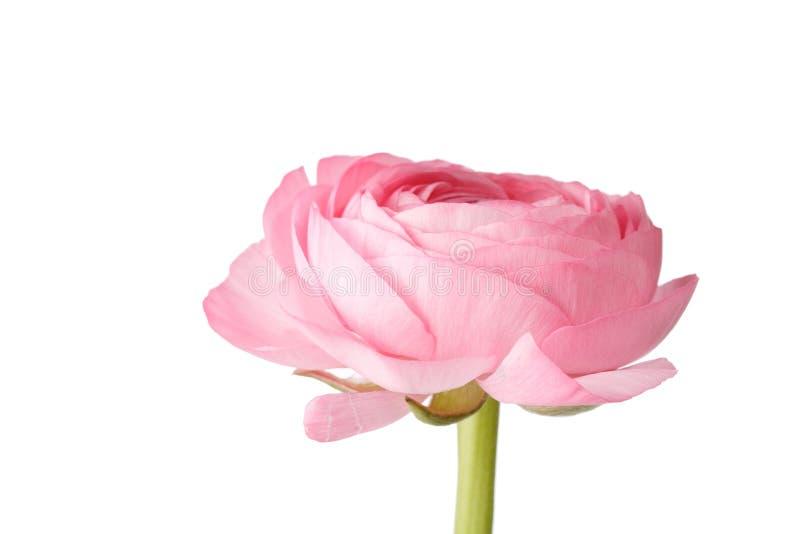 rosa ranunculus royaltyfri bild