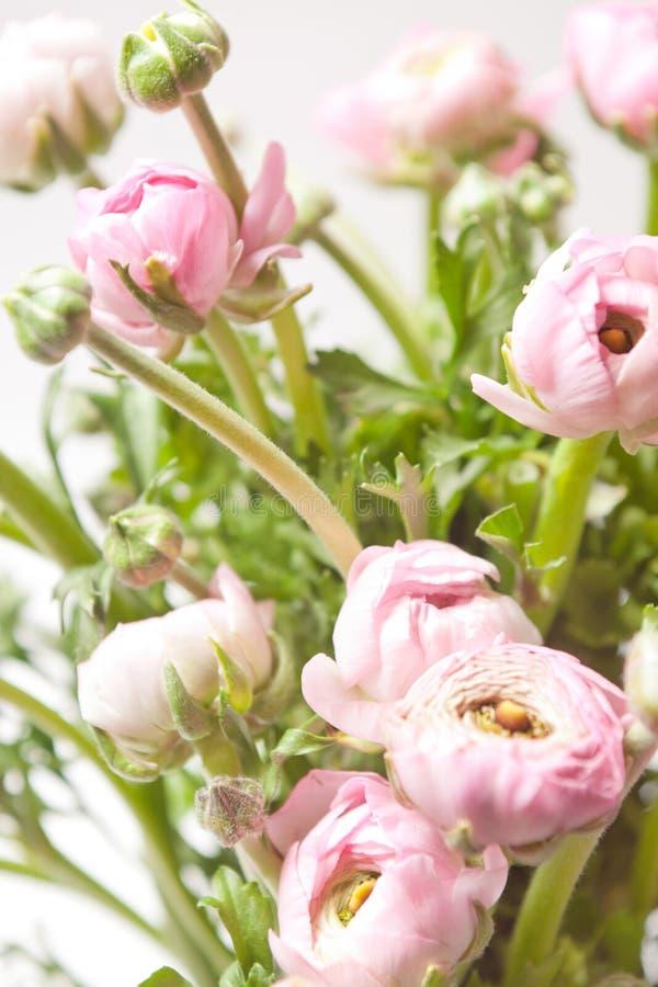 rosa ranunculus arkivfoto