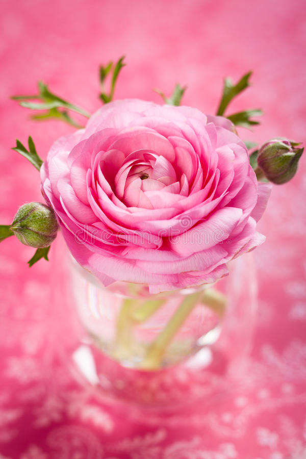 Rosa ranunculus arkivbild