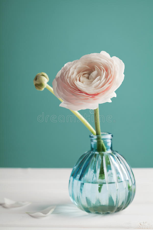 Rosa ranunculus i vas mot turkosbakgrund, härlig vårblomma royaltyfri fotografi