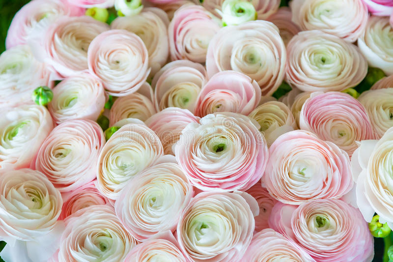 Rosa Ranunculus (persiska smörblommor), fotografering för bildbyråer