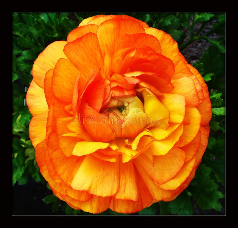 Rosa ranunculusblomma i svart kanfasbakgrund arkivbild