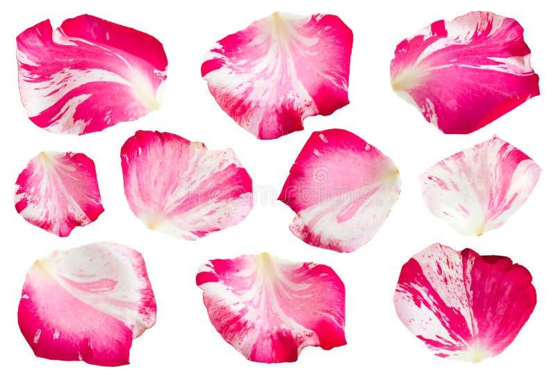 Rosa rayada del rosa en blanco imágenes de archivo libres de regalías