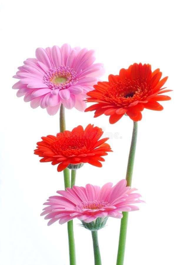 rosa red för gerberas royaltyfria bilder