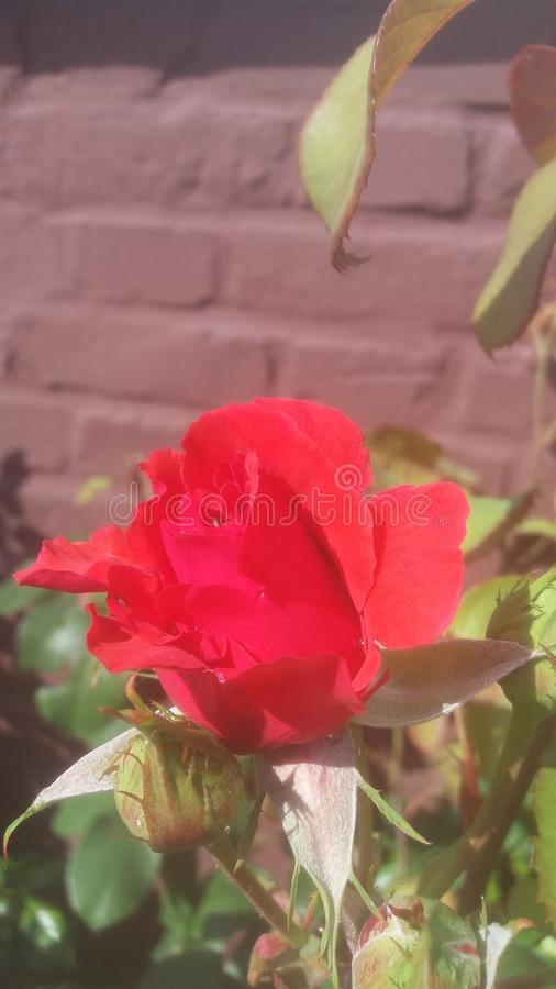 Rosa & x28; red& x29; immagine stock