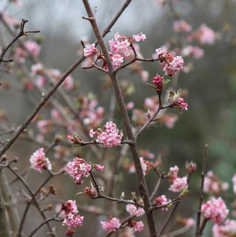 Rosa Redbud träd är blommande royaltyfria foton