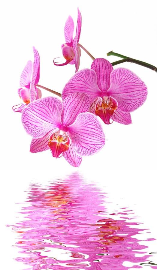 rosa reflexion för orchid royaltyfri foto