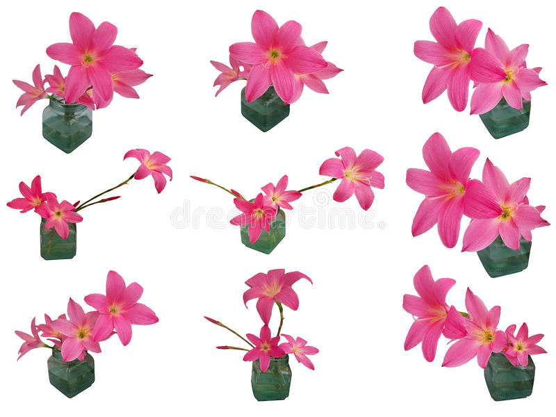 Rosa Regen-Lily Zephyranthes-Satz lokalisiert stockfotografie