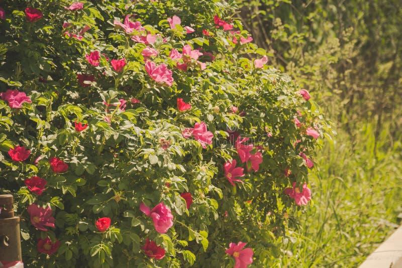 Rosa retro blomningbriar royaltyfria bilder