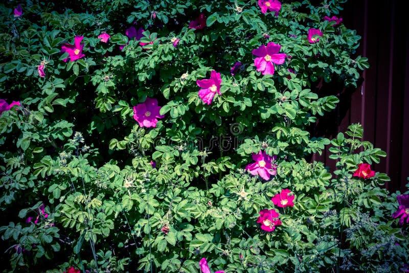 Rosa retro blomningbriar royaltyfri bild