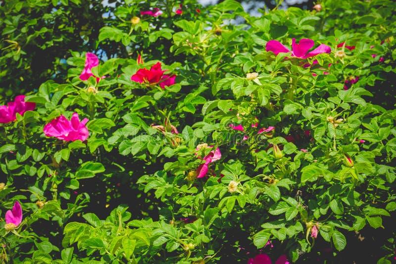 Rosa retro blomningbriar fotografering för bildbyråer