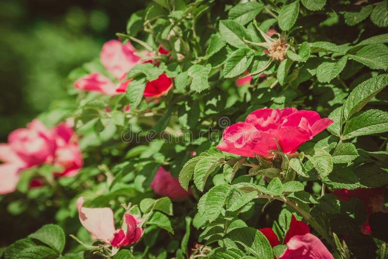 Rosa retro blomningbriar royaltyfria foton