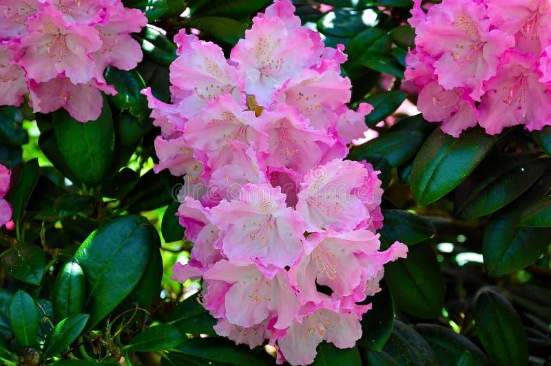 Rosa Rhododendron in voller Blüte lizenzfreie stockfotografie