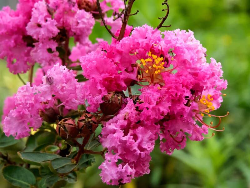 Rosa rhododendronblomma, rhododendroncampanulatum Indien fotografering för bildbyråer