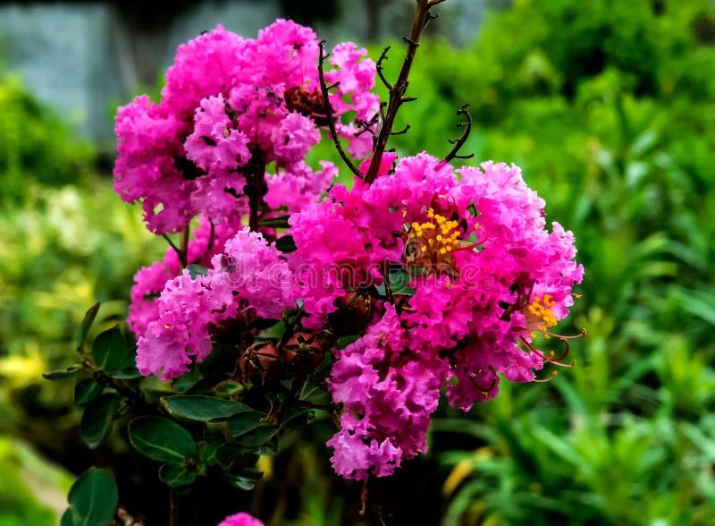 Rosa rhododendronblomma, rhododendroncampanulatum Indien royaltyfri foto