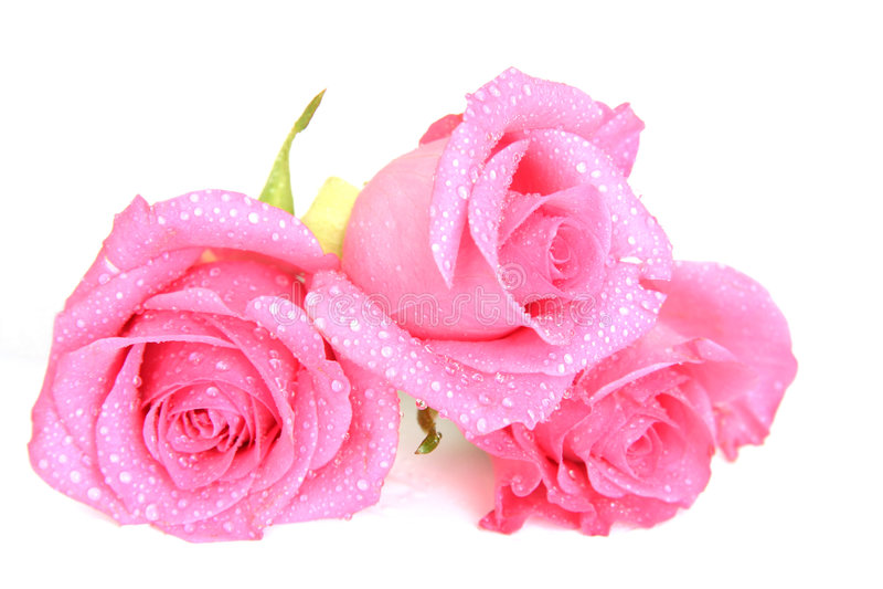 rosa ro royaltyfria foton