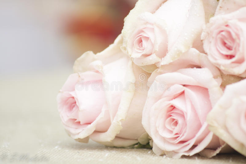 rosa ro royaltyfri foto