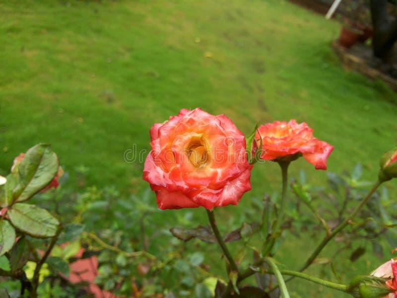 Download Rosa ro arkivfoto. Bild av stort, pink, färg, härlig - 78726274