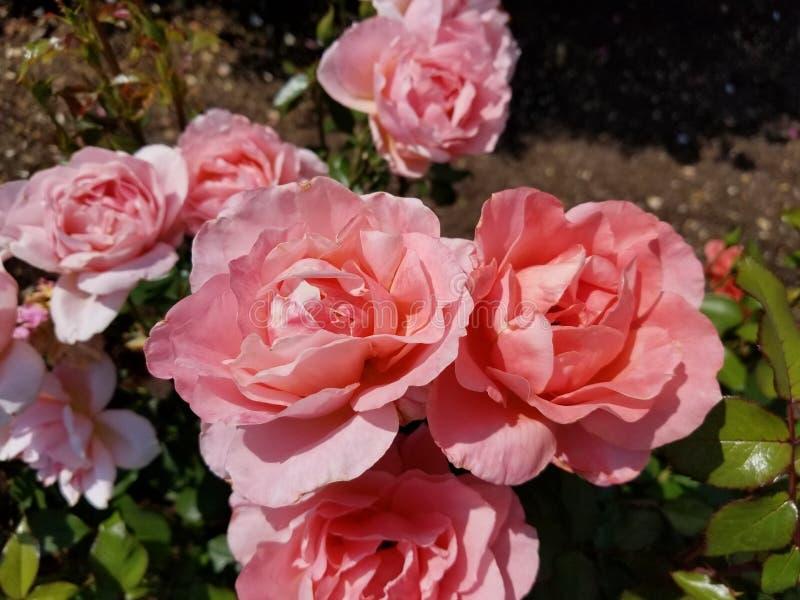 rosa ro f?r buske arkivfoto