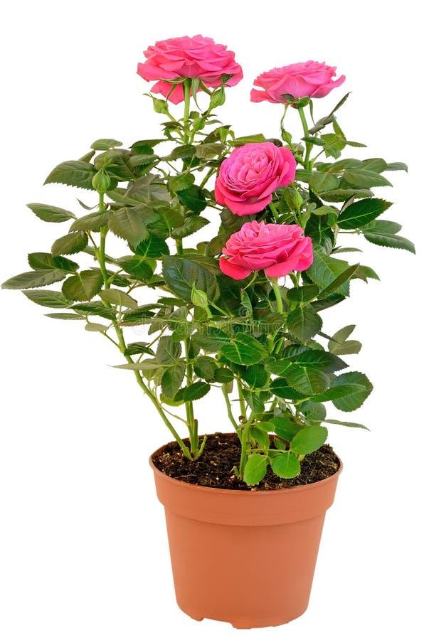 Rosa ro i blommakrukan fotografering för bildbyråer