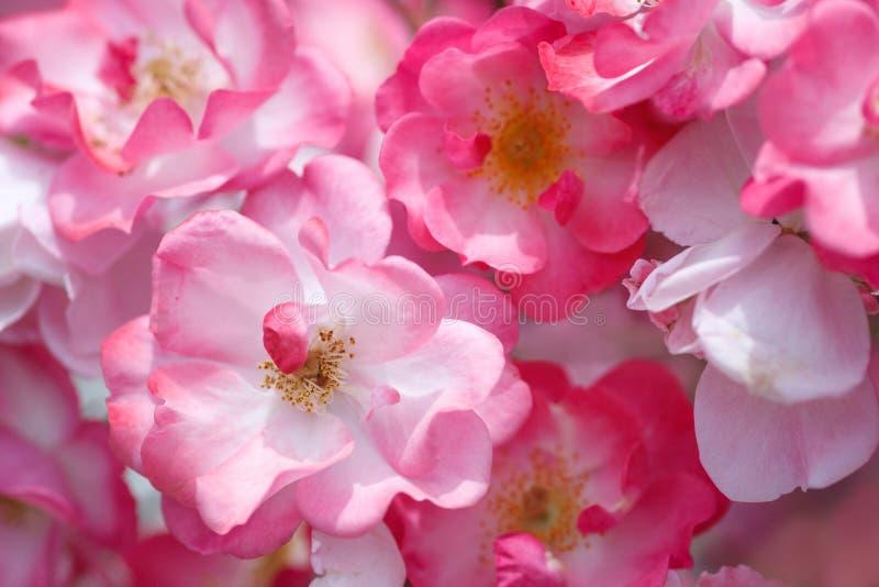 Rosa ro i det gröna huset av jordbruksmark royaltyfria foton