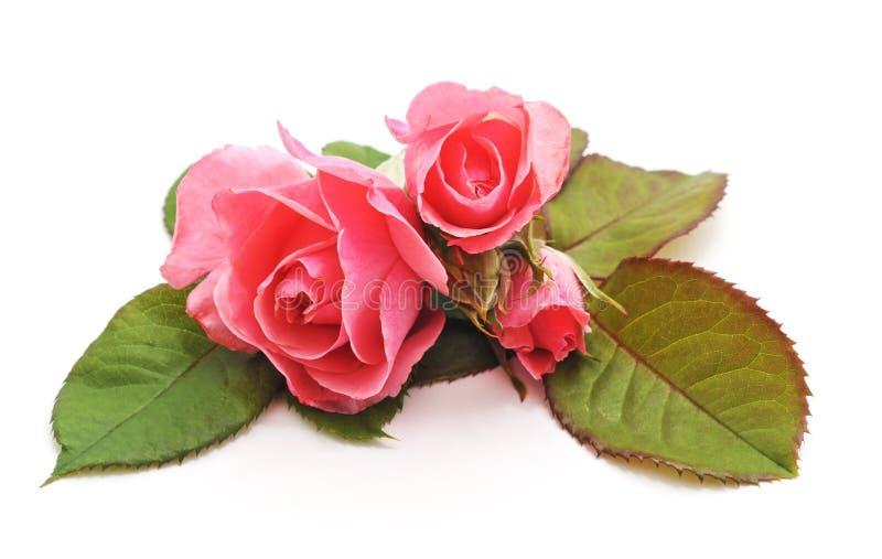 rosa ro tre arkivbild