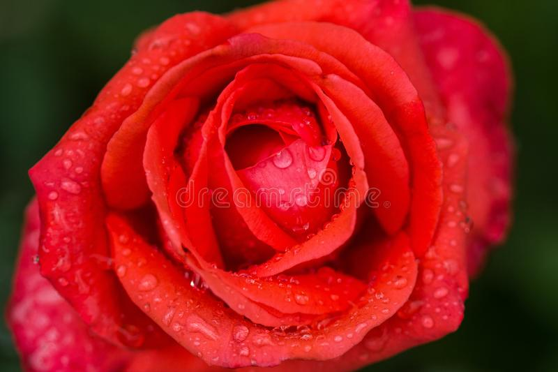 Rosa roja brillante con el sol de los descensos y de la mañana del agua en fondo verde Macro Cierre para arriba foto de archivo libre de regalías