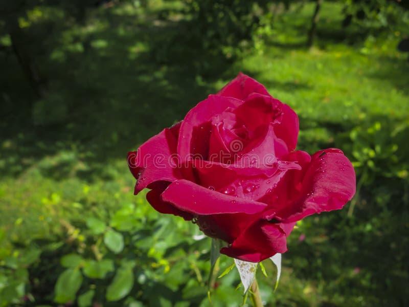 Rosa roja brillante lujosa Red Star contra la perspectiva del jardín verde enorme Pétalos de Rose con descensos de rocío imágenes de archivo libres de regalías