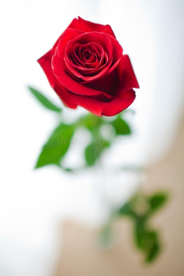 Rosa roja capturada - foco bajo libre illustration