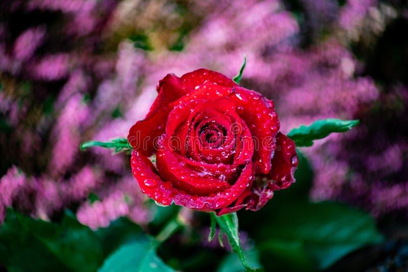 Rosa roja con los waterdrops brillantes fotos de archivo