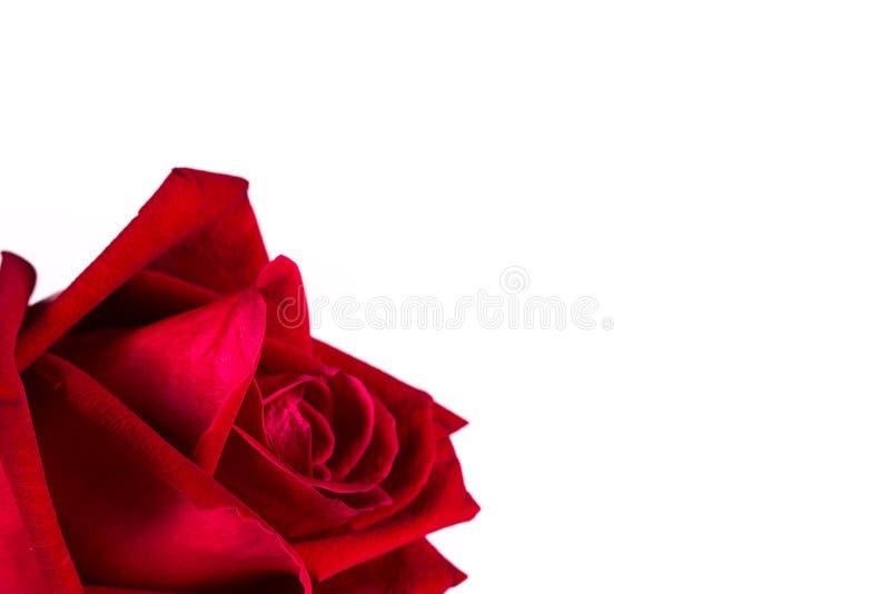 Rosa roja de la seda aislada en blanco foto de archivo libre de regalías