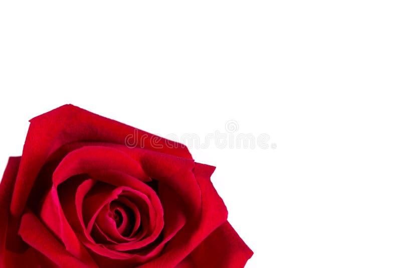 Rosa roja de la seda aislada en blanco fotografía de archivo libre de regalías