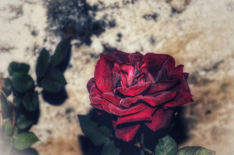 Rosa roja en el amor indio foto de archivo