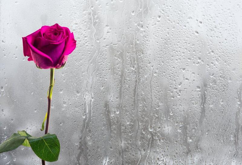 Rosa roja en el fondo del vidrio de la ventana mojado foto de archivo libre de regalías