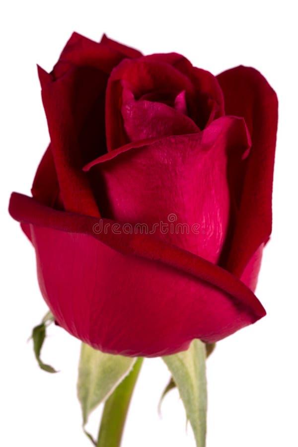 Rosa roja grande de la seda aislada en blanco foto de archivo libre de regalías
