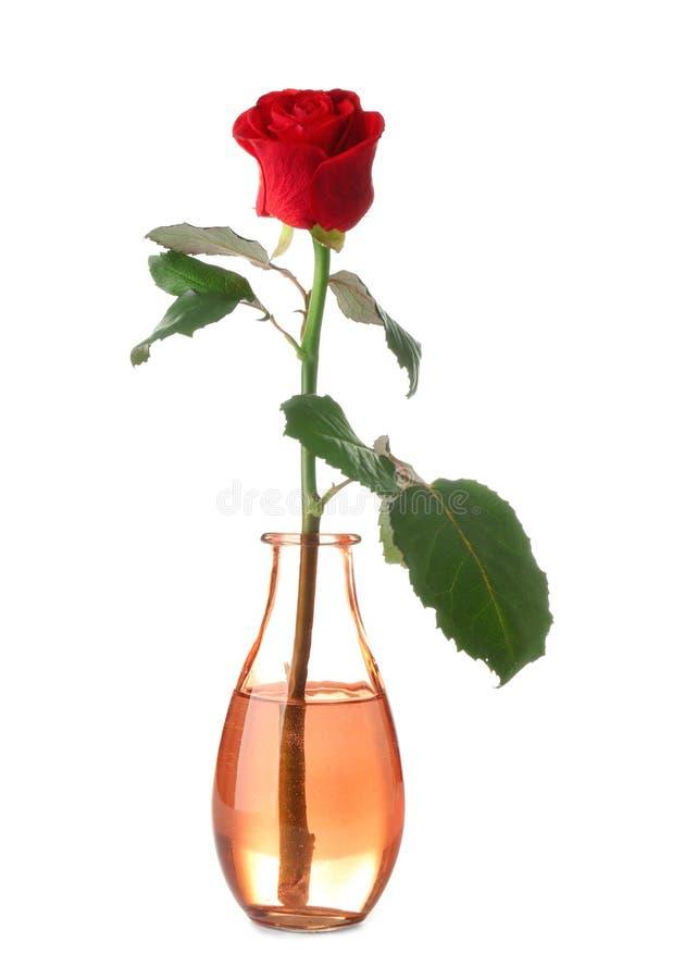 Rosa roja hermosa en el florero de cristal en el fondo blanco fotos de archivo