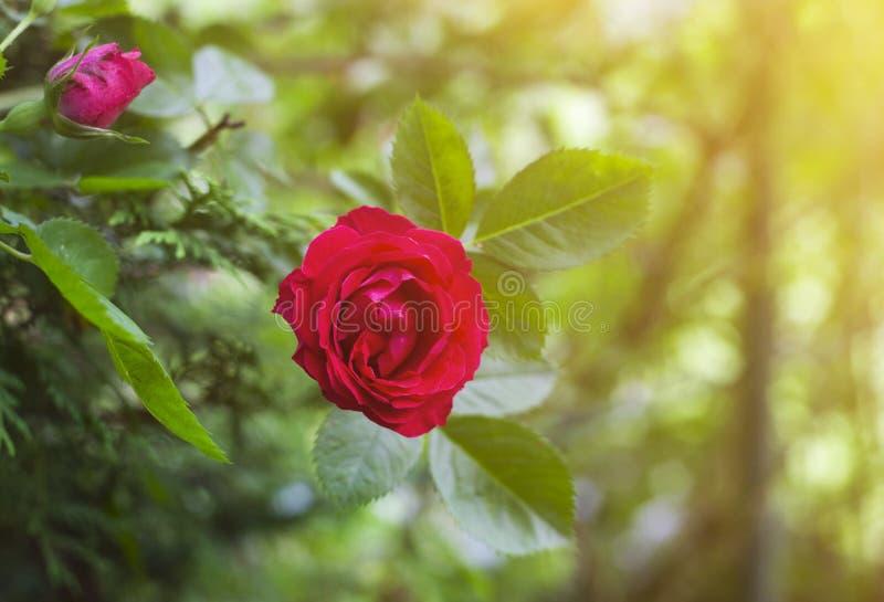 Rosa roja hermosa en jardín contra fondo borroso verde vibrante imagen de archivo