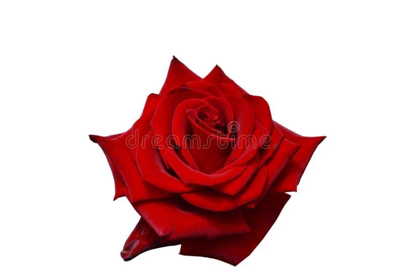 Rosa roja mágica negra que florece en el fondo blanco fotografía de archivo